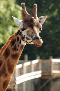 Giraffe at Cotswold Wildlife Park near Heath Farm Holiday Cottages
